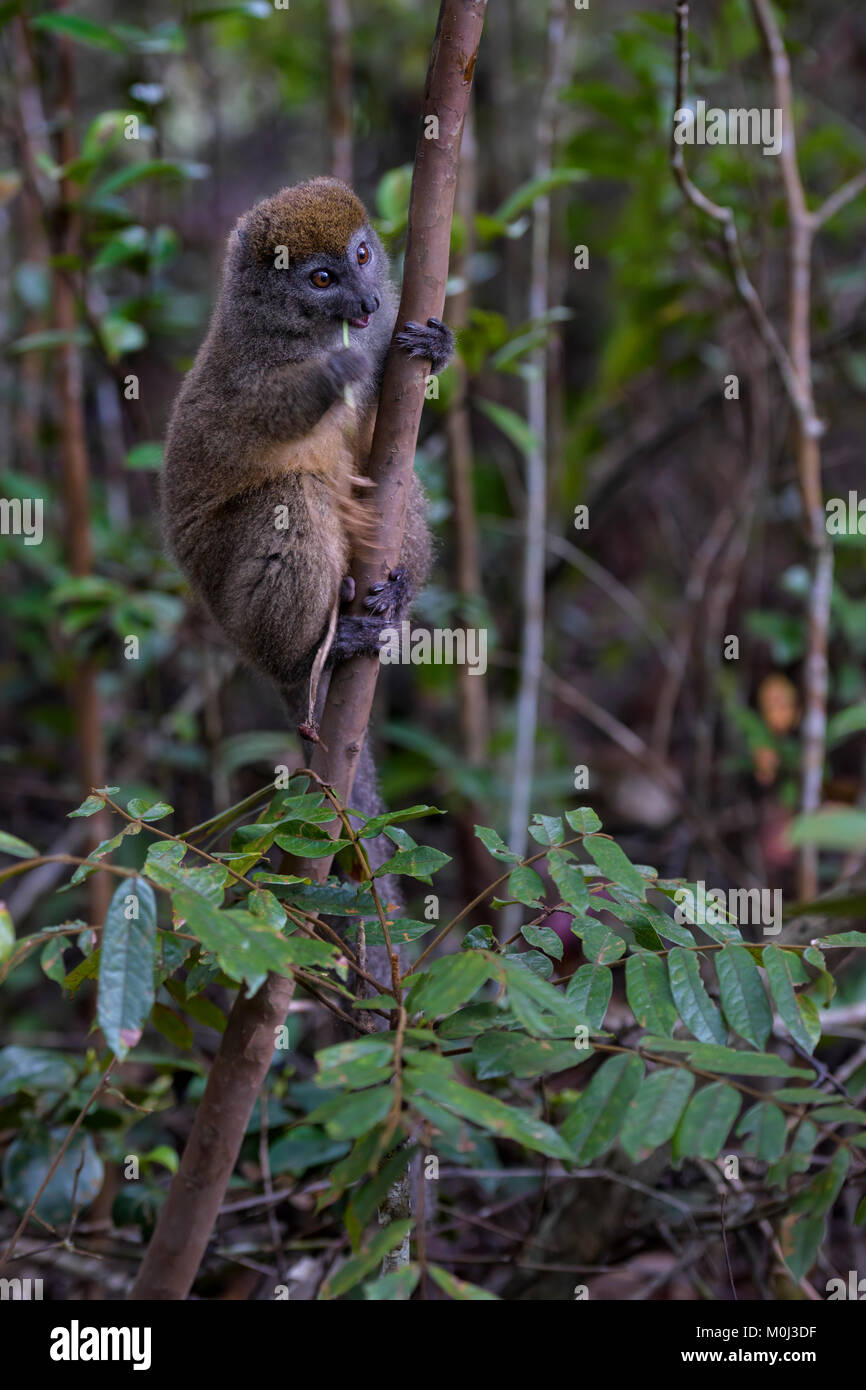 Eastern Lesser Bamboo Lemur - Hapalemur griseus, Madagascar rain forest. Madagascar endemite. Cute primate. Bamboo - Stock Image