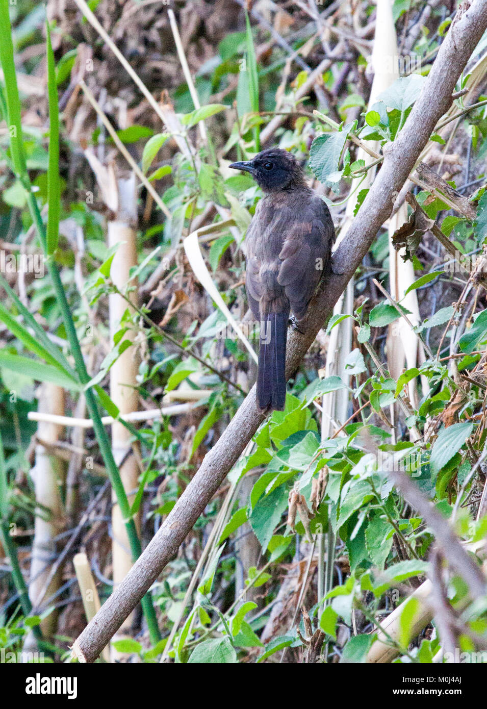 Northern black flycatcher (Melaenornis edolioides) perched on branch in garden - Stock Image