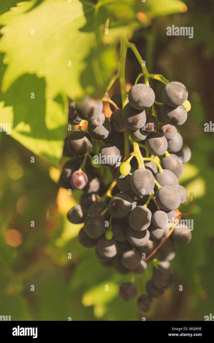 Black grapes on wine in sunny position Stock Photo
