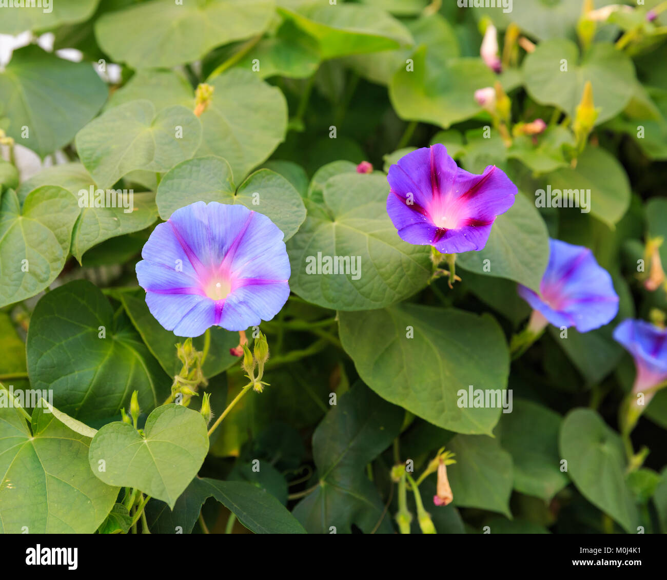 Morning glory purple and blue flowers in bloom, Ipomoea purpurea, Convolvulaceae family - Stock Image