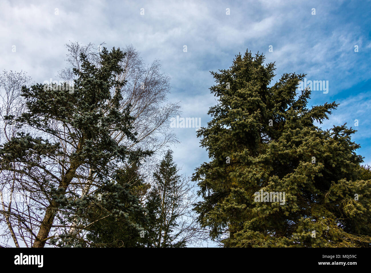 Big firs near the forest - Stock Image