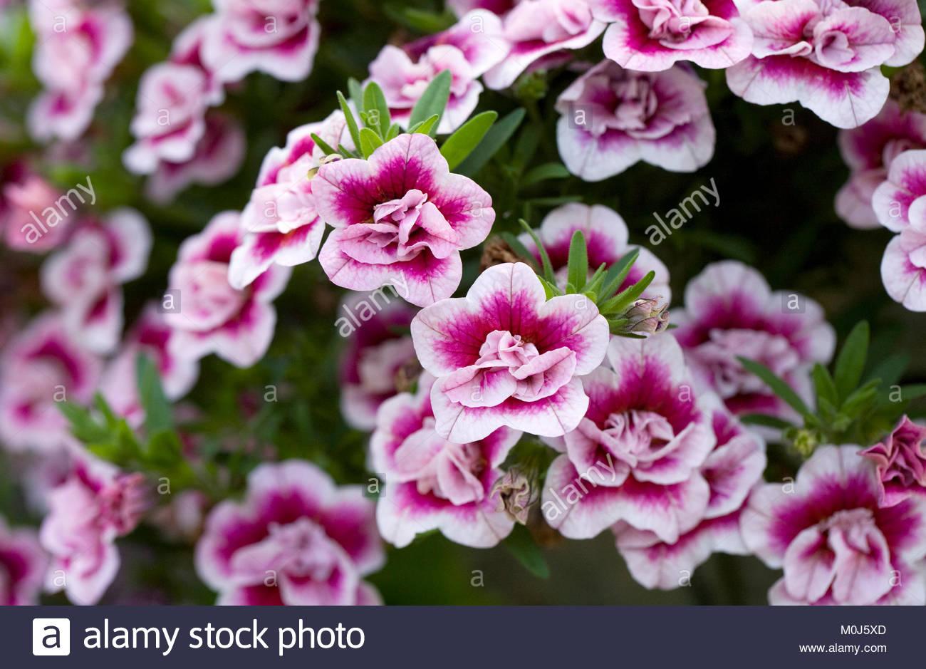 Calibrachoa 'MiniFamous Double PinkMania' flowers. - Stock Image