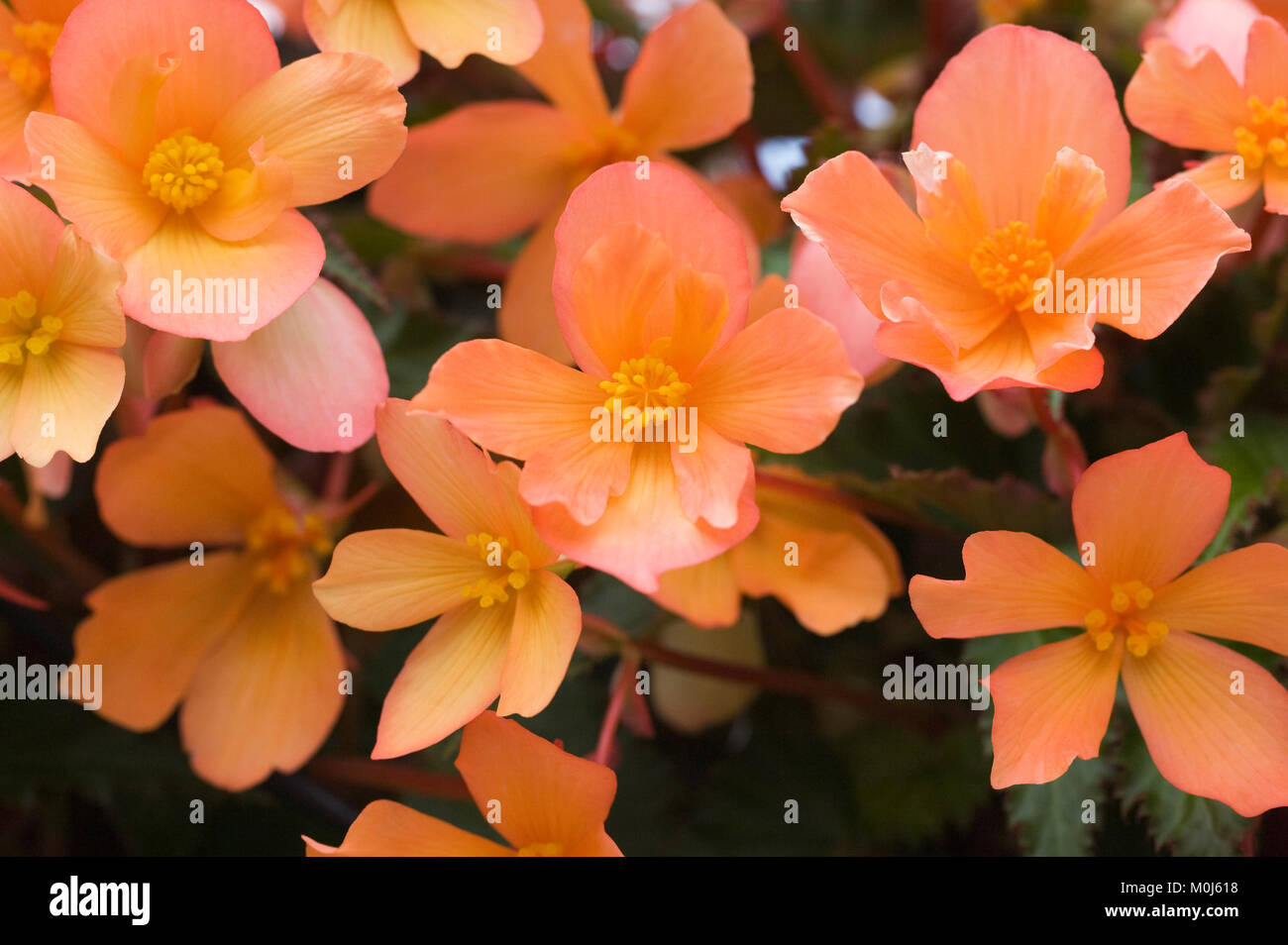 Begonia 'Unbelievable Lucky Strike' flowers. - Stock Image