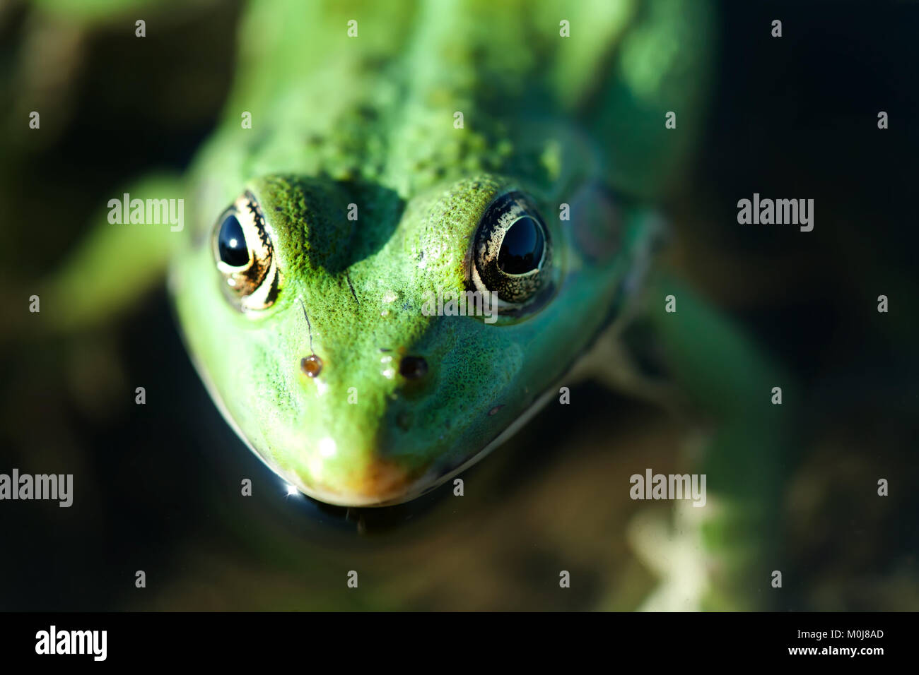 Close up marsh frog green amphibian Pelophylax ridibundus. Up view, selective focus - Stock Image