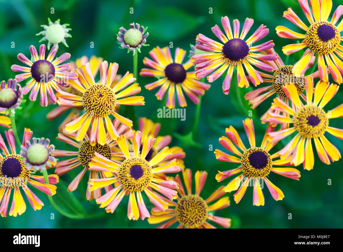 Beautiful orange red yellow petal flowers in the garden. Field of autumn daisies flowers. green soft background. - Stock Image