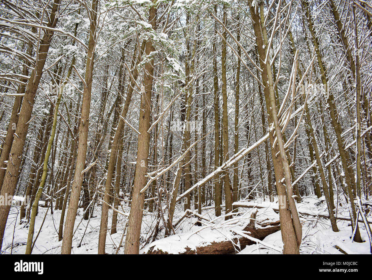 Pine grove covered in snow - Stock Image