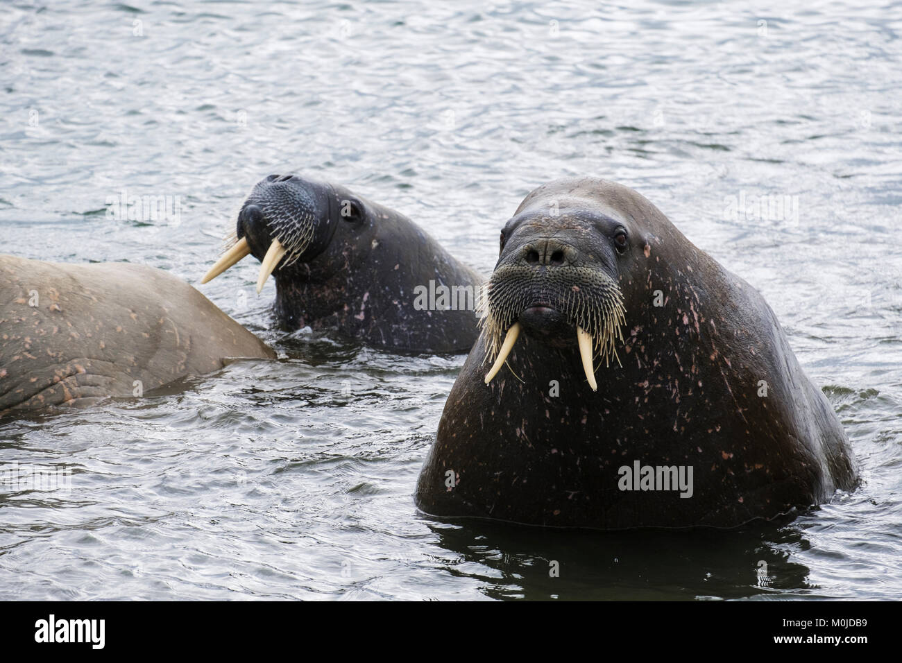 Adult Walruses (Odobenus rosmarus) swimming offshore in sea on Arctic coast in summer 2017. Spitsbergen island, - Stock Image