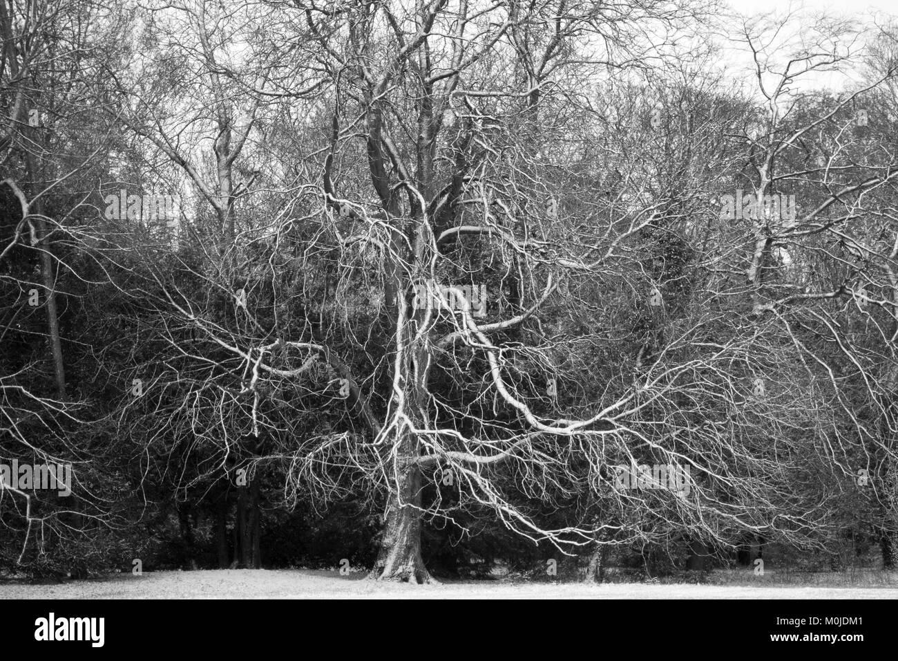 Tree skeleton after Light snow fall Stewart Park, Middlesborough - Stock Image
