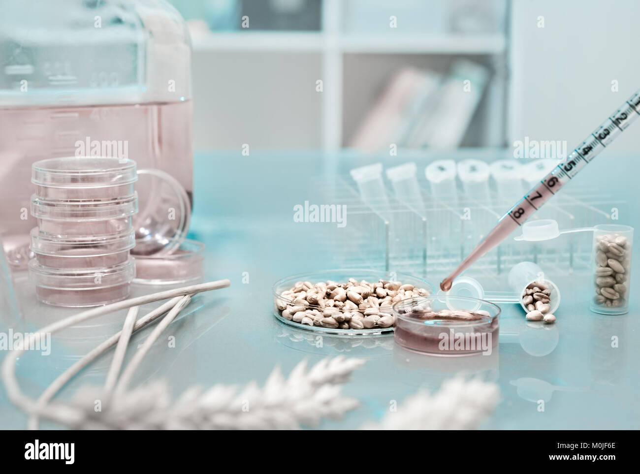 Cell culture assay to test genetically modified wheat - Stock Image