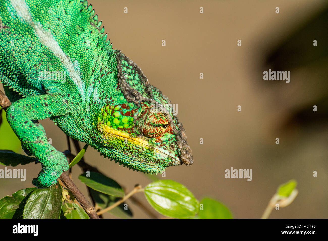 Endemic chameleon looking for a quarry in Madagascar - Stock Image