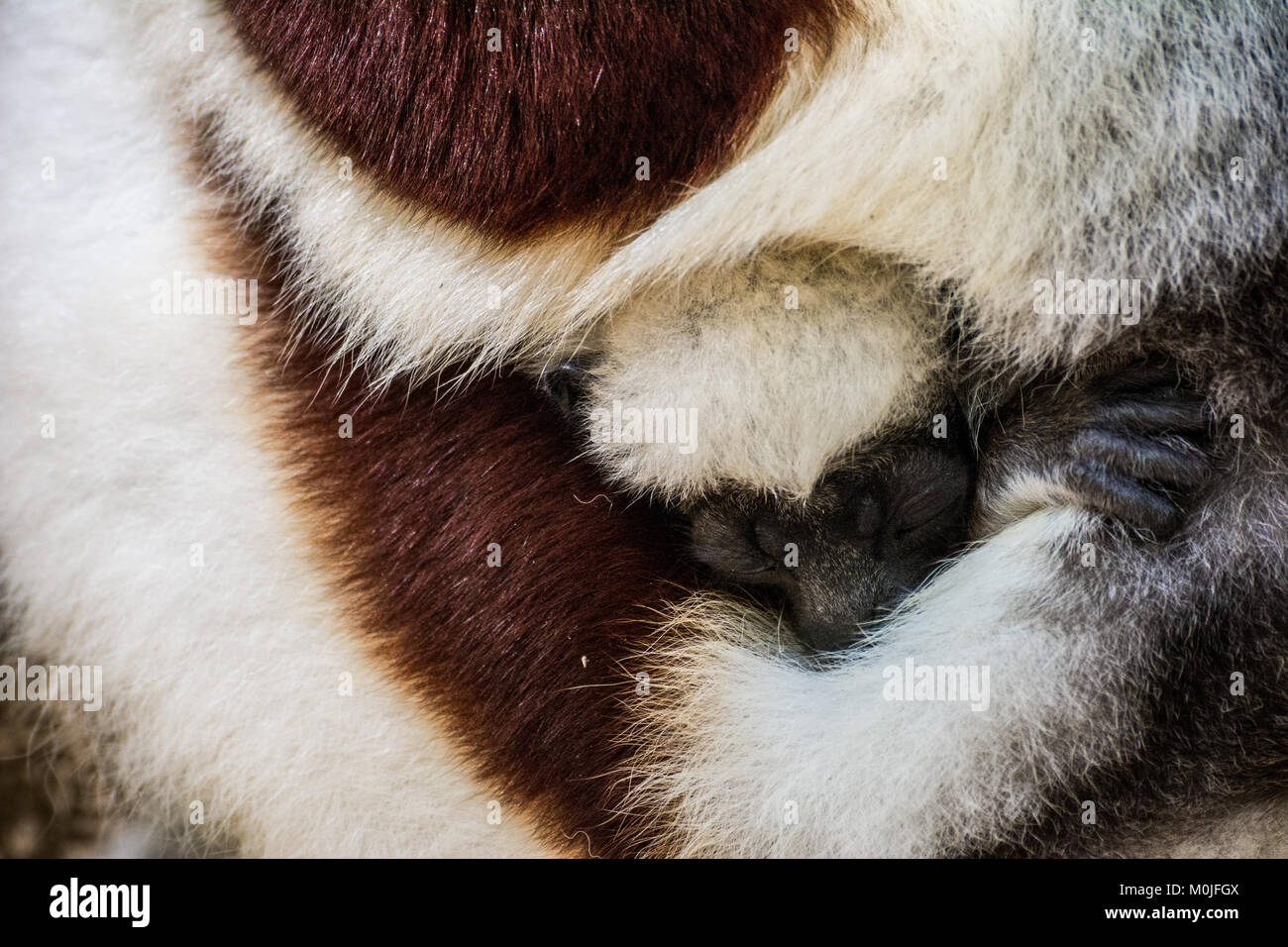 A Sifaka lemur puppy sleeps hugged at his mother - Stock Image