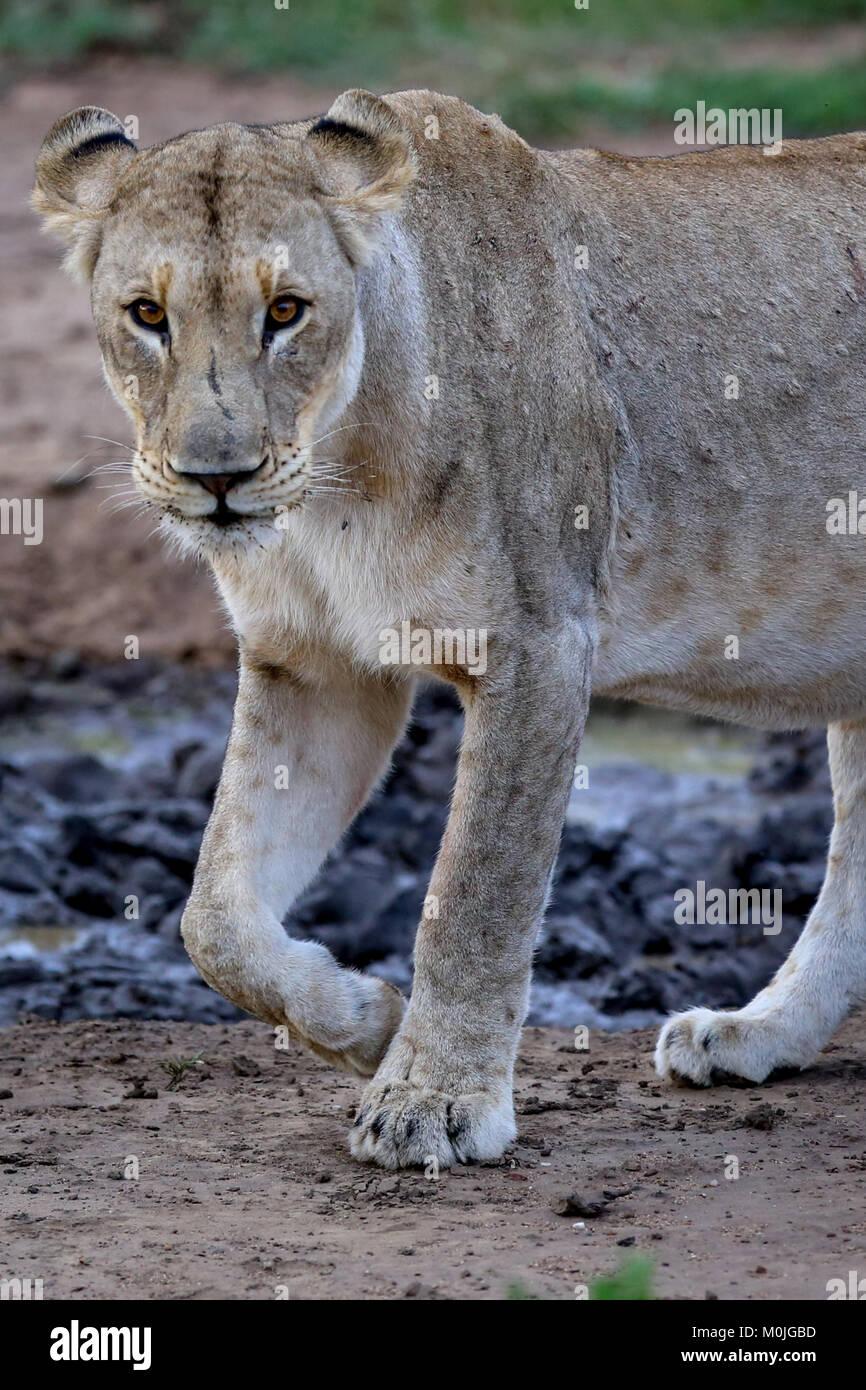 Beautiful Lioness wondering around watering hole. - Stock Image