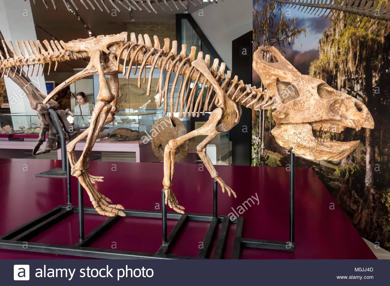 Royal Ontario Museum ROM Protoceratops andrewsi dinosaur cretaceous Toronto Ontario Canada. - Stock Image