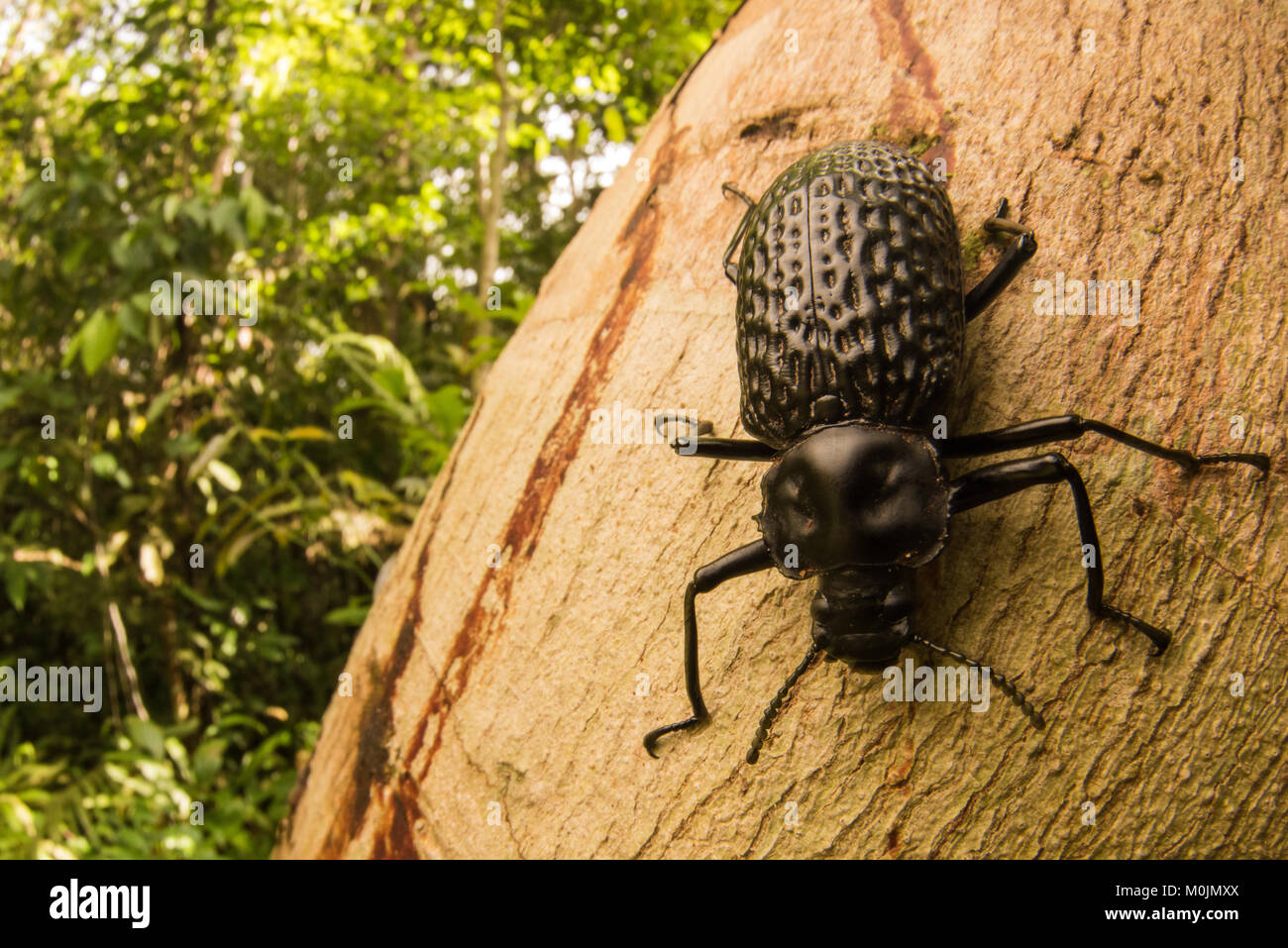 A huge tropical darkling beetle (Taphrosoma dohrni) found moving about on a fallen tree in the Colombian Amazon. - Stock Image