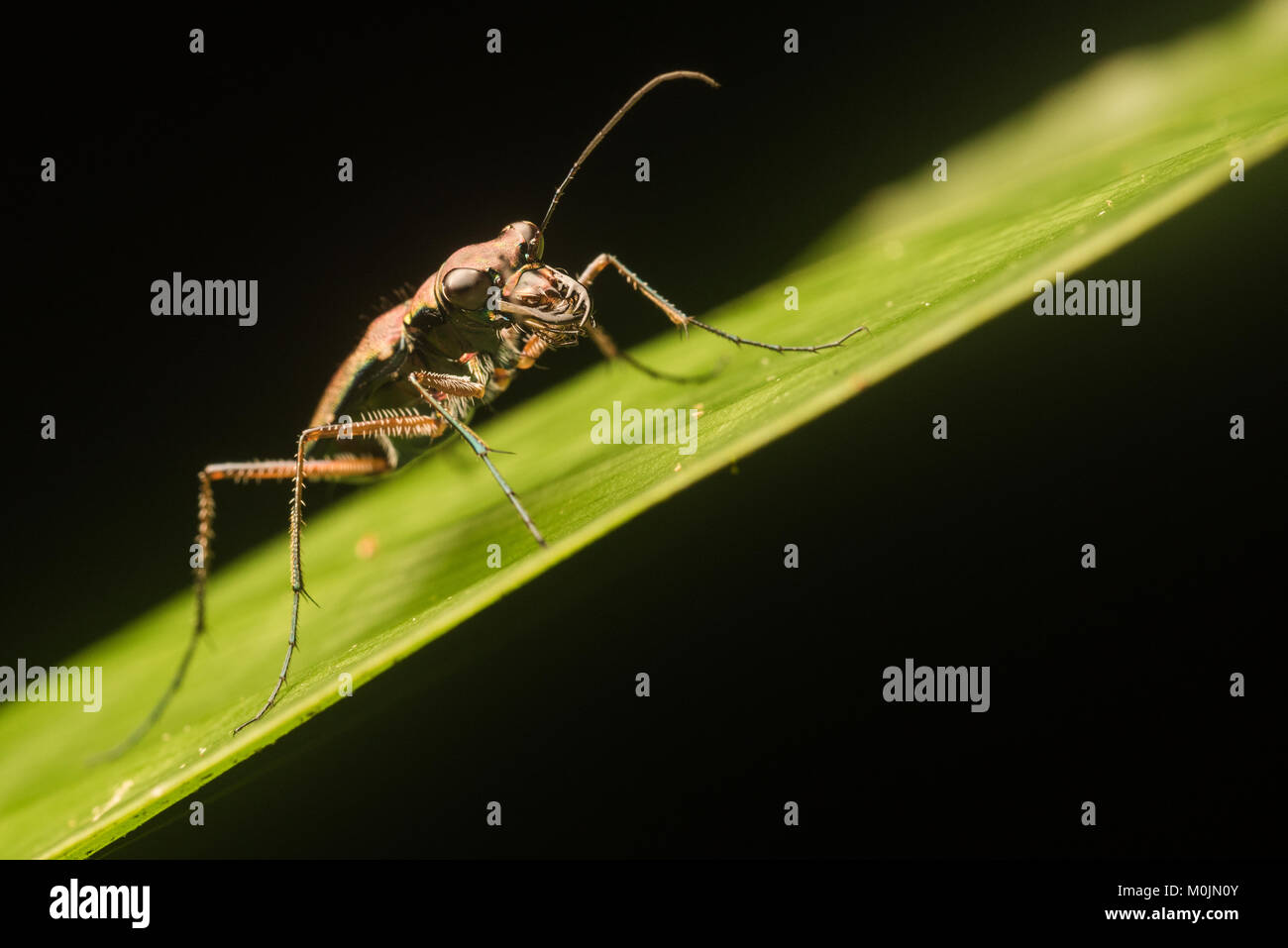 A tropical tiger beetle perches on a leaf in the Colombian Amazon. - Stock Image