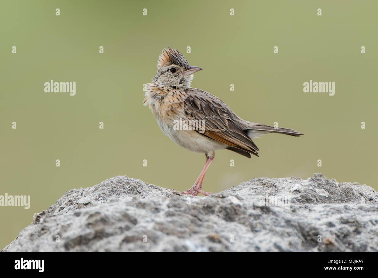 Rufous-naped lark (Mirafra africana) sits on a stone, Savuti, Chobe National Park, Chobe District, Botswana Stock Photo