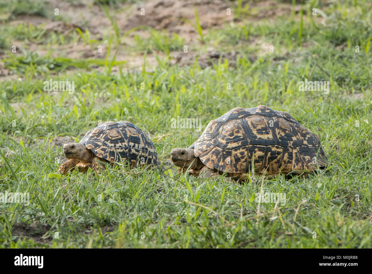 Leopard tortoises (Stigmochelys pardalis) walking in a row, animal pair, Chobe River Front, Chobe National Park, - Stock Image