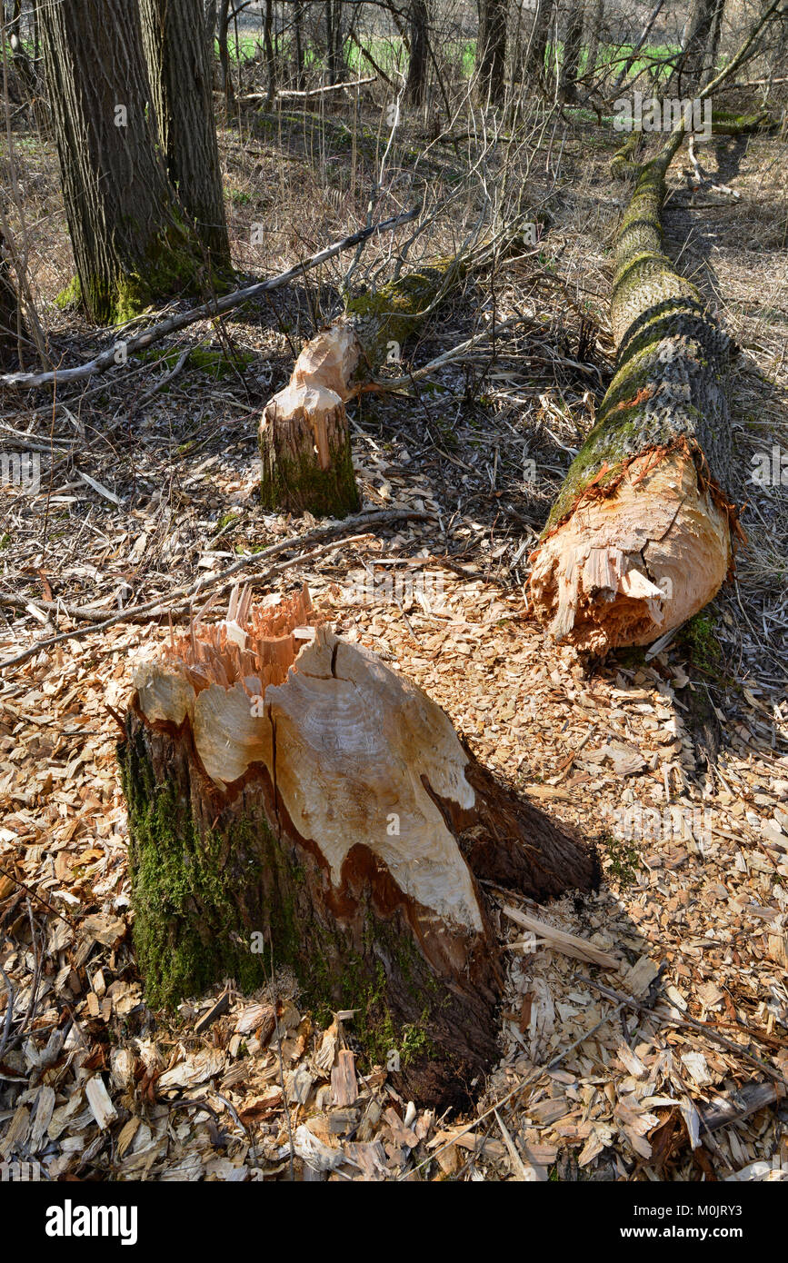 Fallen down tree, traces of European beaver (Castor fiber), Tyrol, Austria - Stock Image