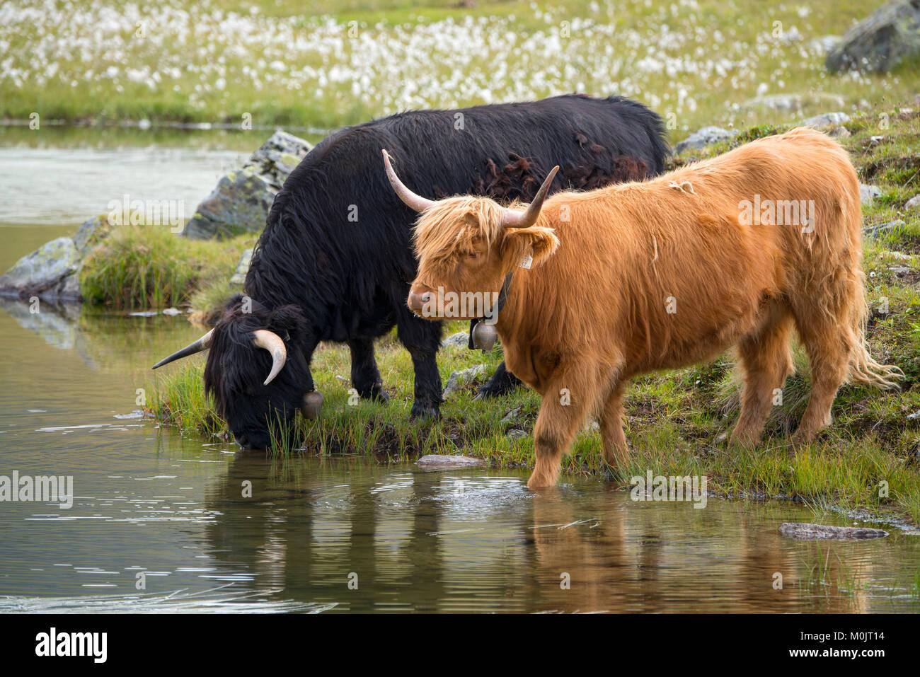 Scottish Highland cattle on the alpine pasture, Scheidseen, Galtür, Tyrol, Austria - Stock Image