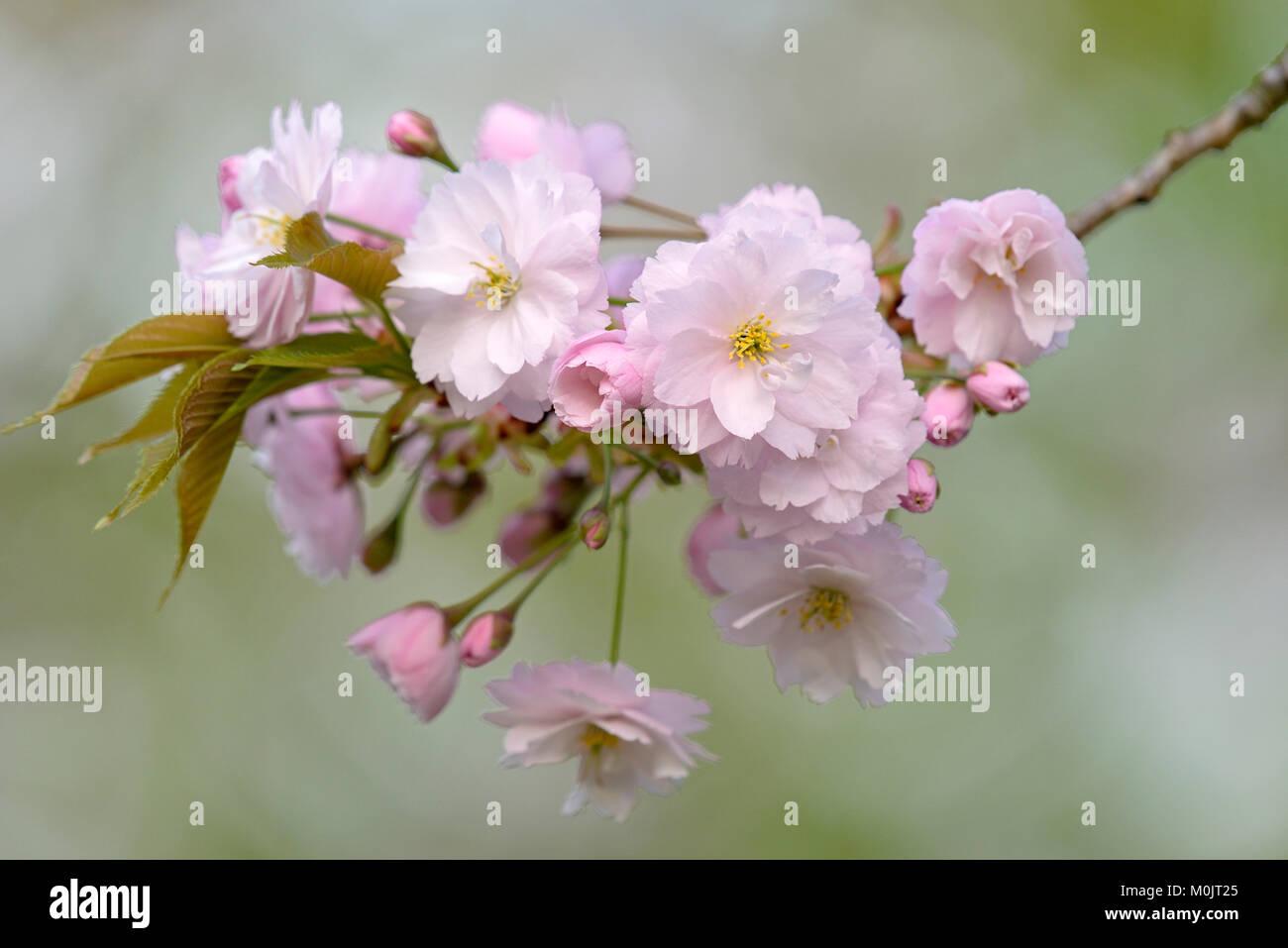 Cherry blossom, cherry tree (Prunus sp.), twig with flowers, North Rhine-Westphalia, Germany - Stock Image