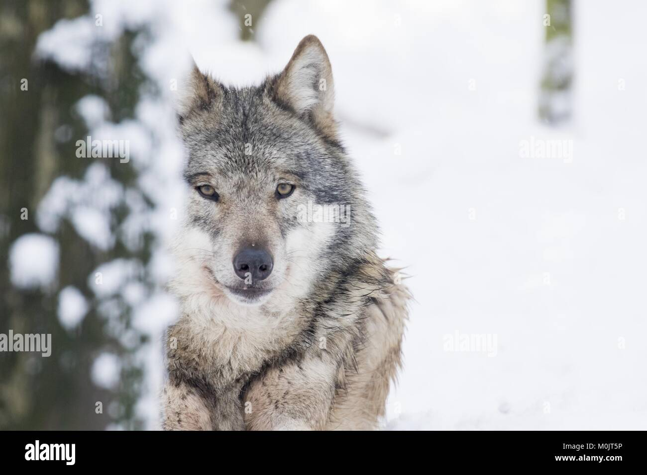 Gray wolf (Canis lupus) in winter, portrait, captive, Germany - Stock Image
