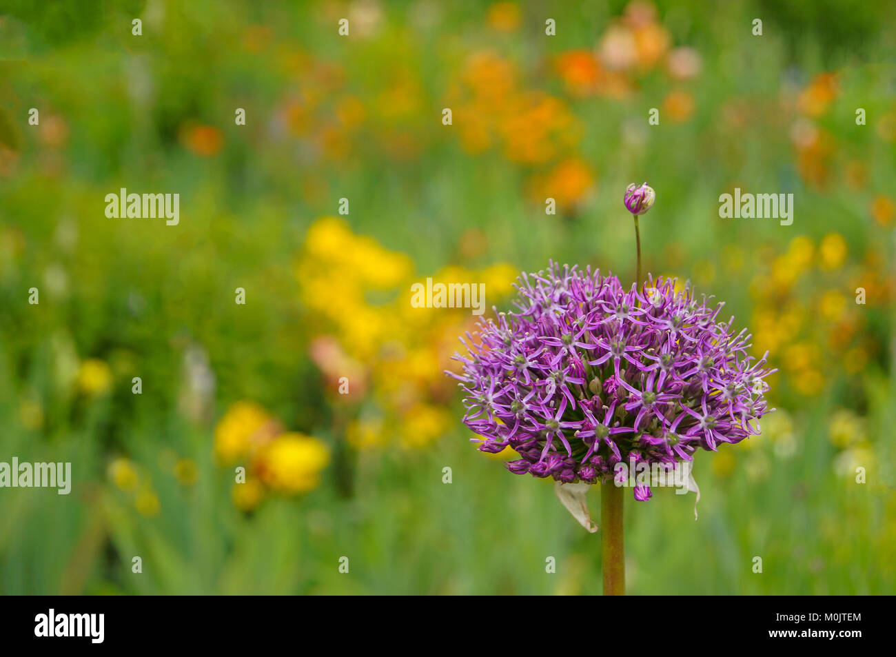 Single large purple allium flower, with a tiny allium flower growing from it, against a diffuse green and yellow - Stock Image