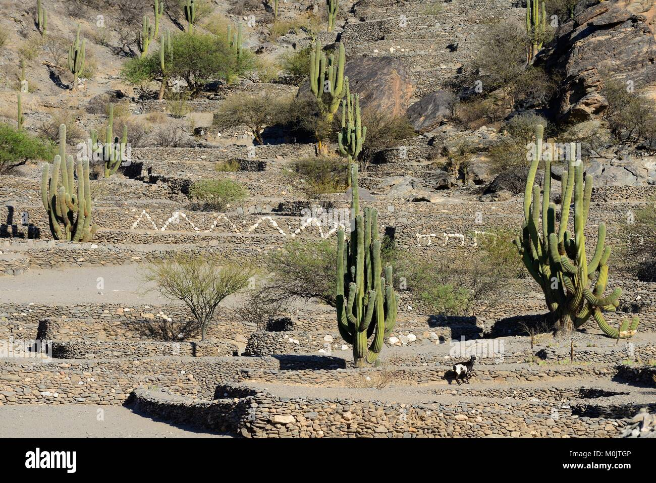 Ruins of Quilmes, Ciudad Sagrada de los Quilmes, foundations with column cactuses, fortress, Valle Calchaquí, - Stock Image