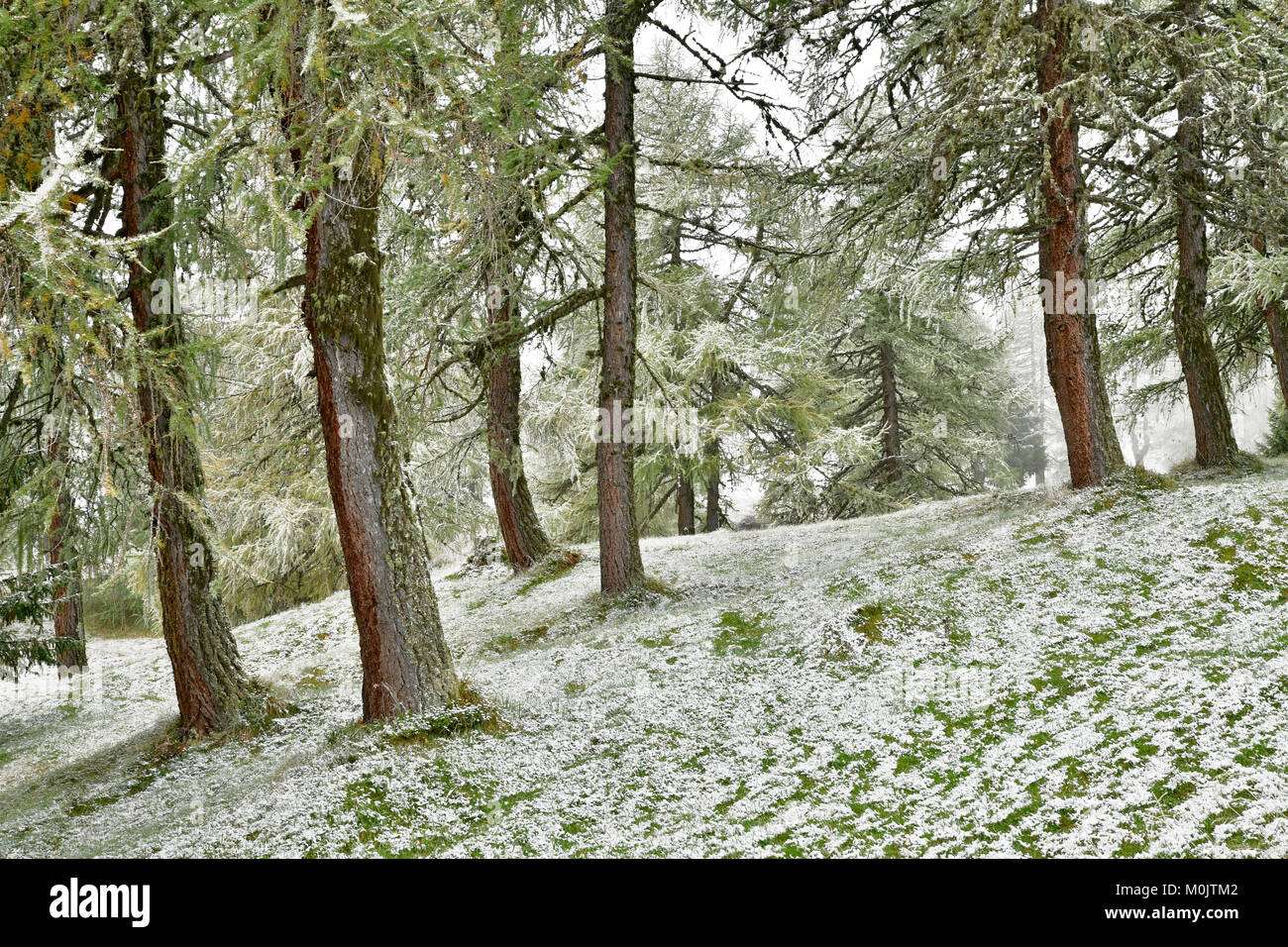 Forest with larch, first snowfall in autumn, Obernberg, Tyrol, Austria - Stock Image