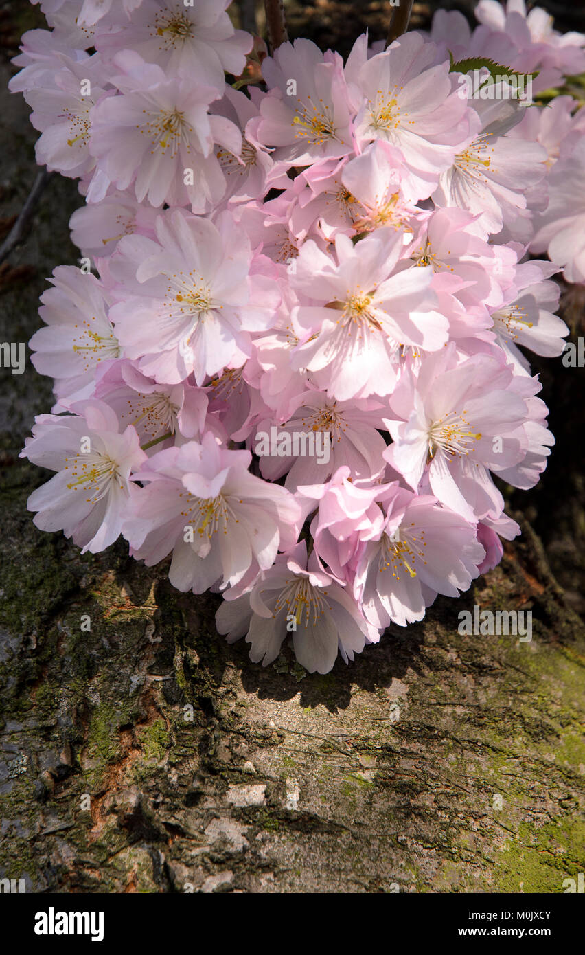 Kirschblüte - Cherryblossom Stock Photo