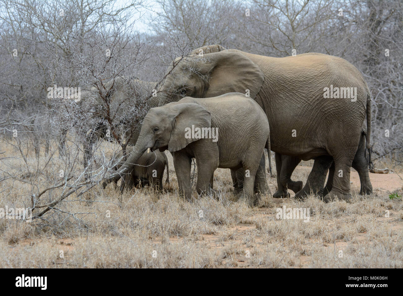 Matriarch herd of African Elephants (Loxodonta africana) in Kruger National Park, South Africa - Stock Image