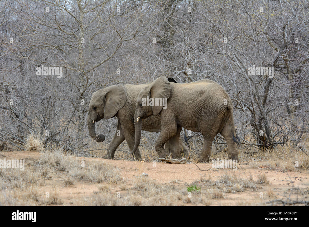 Two young African Elephant calves (Loxodonta africana) hurry to keep up with the matriarch herd in Kruger National - Stock Image
