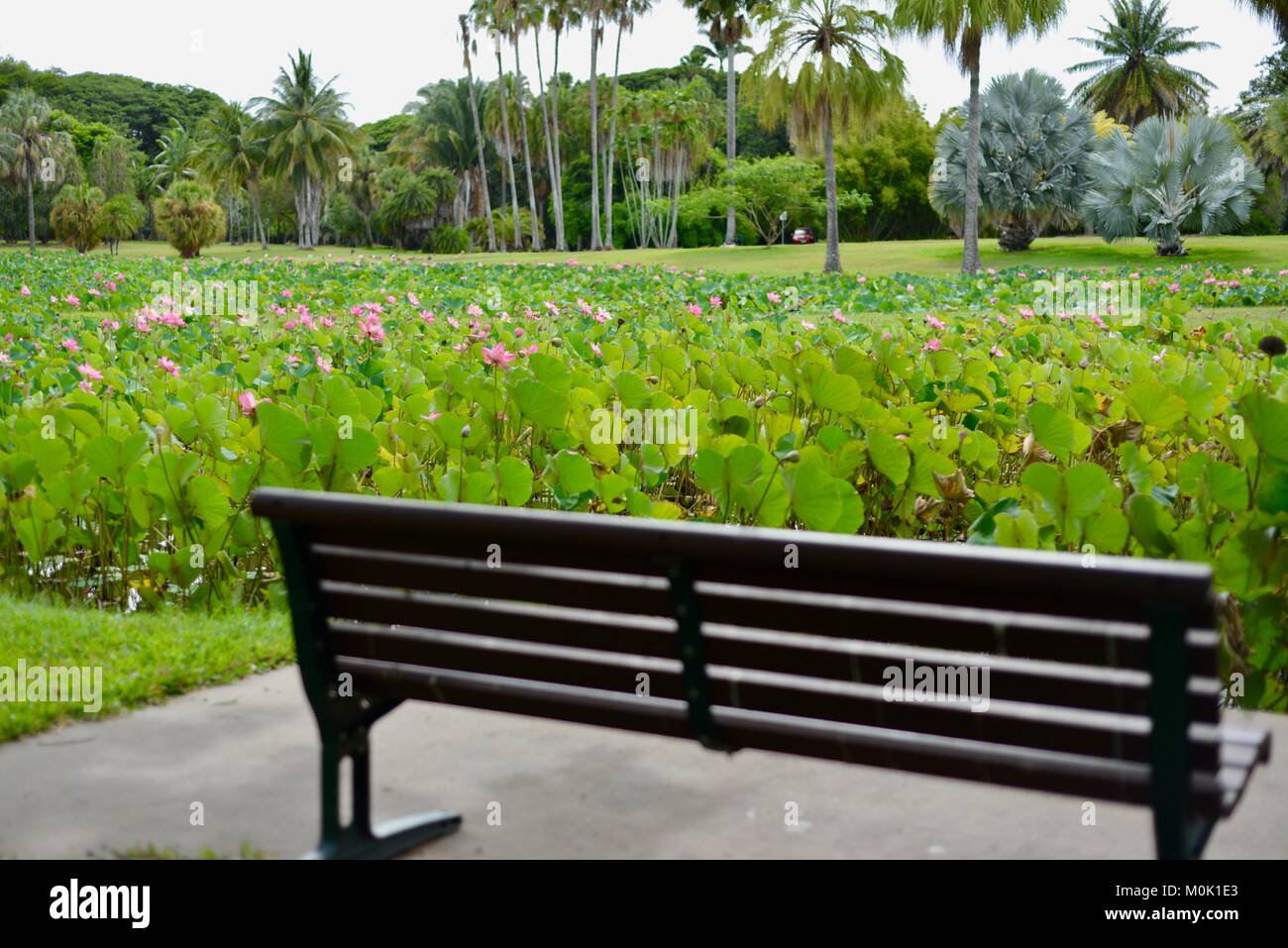 Park bench with pink lilies in full bloom, Anderson Park Botanic Gardens, Townsville, Queensland, Australia Stock Photo