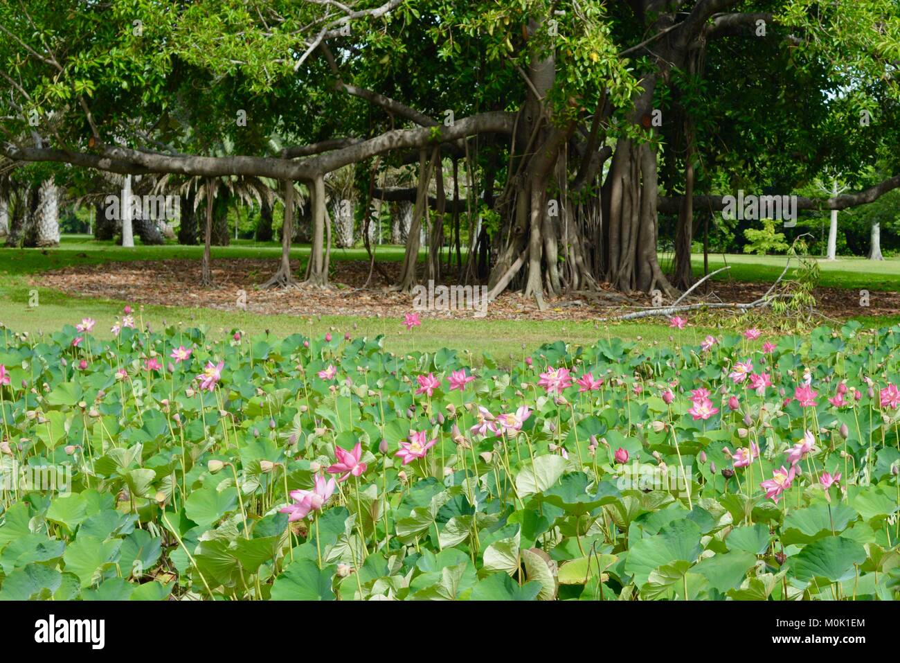 Pink lilies in full bloom, Anderson Park Botanic Gardens, Townsville, Queensland, Australia Stock Photo