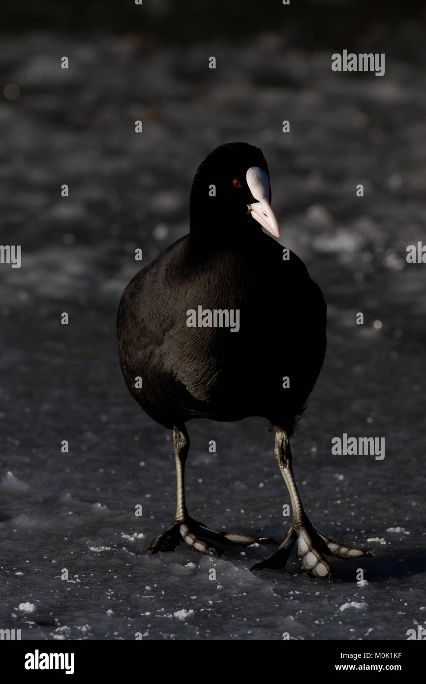 Single adult coot, Fulica atra, standing on frozen lake in UK - Stock Image