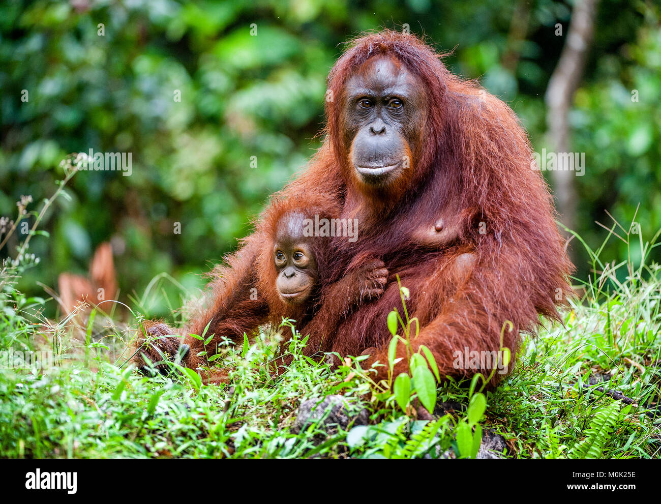 A female of the orangutan with a cub in a native habitat. Bornean orangutan (Pongo pygmaeus) in the wild nature.Rainforest - Stock Image