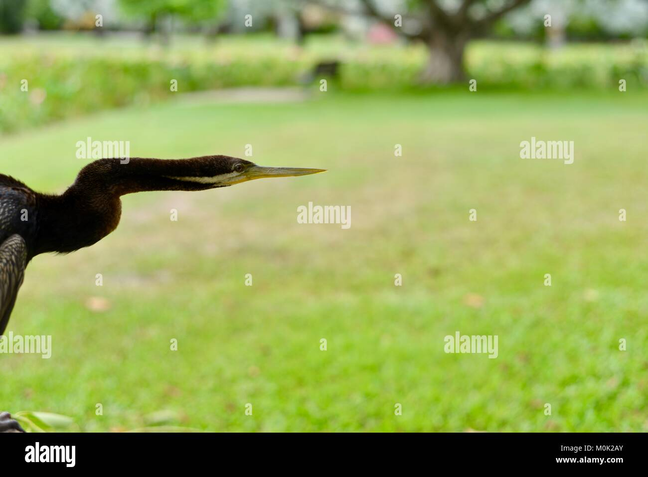 Close up images of an Australasian darter Anhinga melanogaster, Anderson Park Botanic Gardens, Townsville, Queensland, Stock Photo