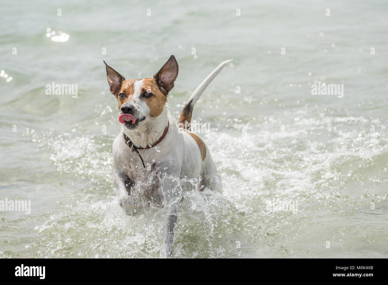 Happy six-year-old Danish Swedish Farmdog playing fetch in water during summer in Sweden. - Stock Image