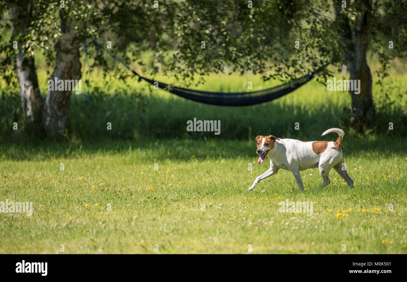 Seven-year-old Danish Swedish Farmdog playing fetch during summer in Sweden. - Stock Image