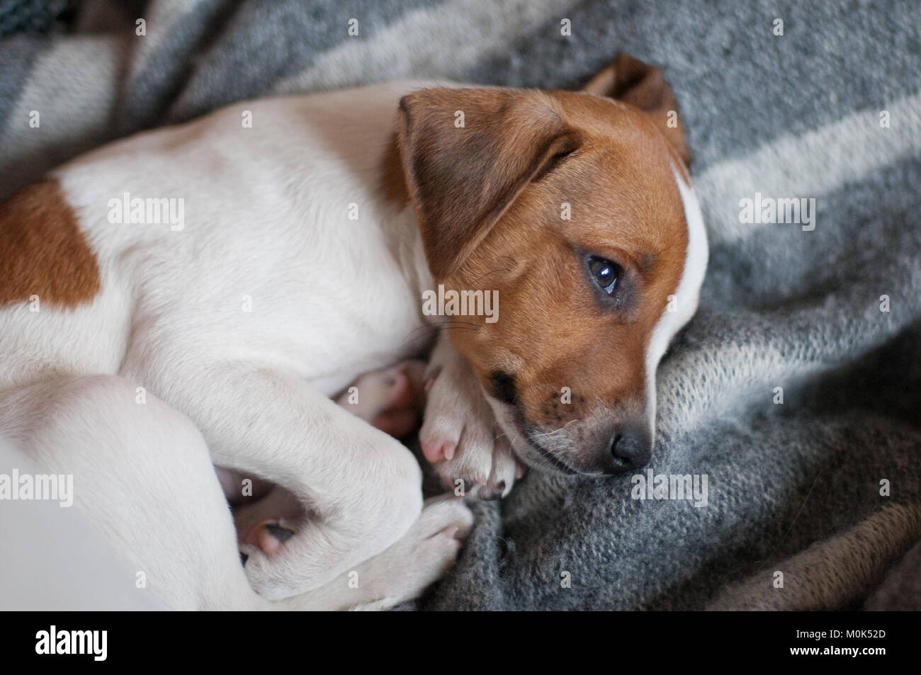 Cute two months old Danish Swedish Farmdog puppy. This breed, which originates from Denmark and southern Sweden - Stock Image