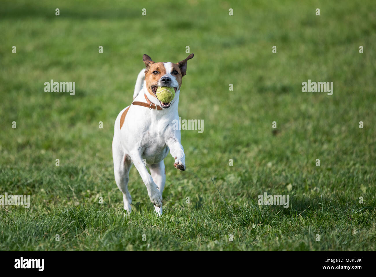 Happy five-year-old Danish Swedish playing fetch on a lawn during summer in Sweden. - Stock Image