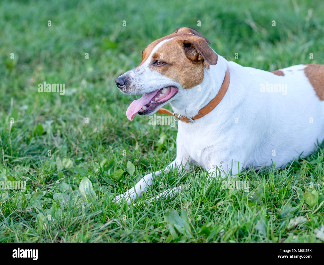 Five-year-old Danish Swedish Farmdog resting on a lawn. This breed, which originates from Denmark and southern Sweden - Stock Image