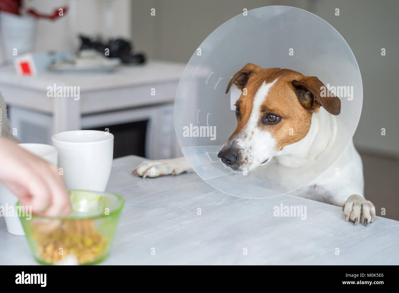 Five-year-old Danish Swedish Farmdog with protective Elizabethan collar. This breed, which originates from Denmark - Stock Image