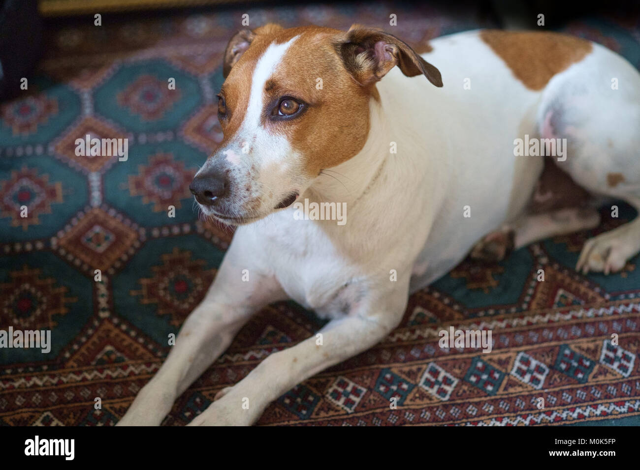 Three-year-old Danish Swedish Farmdog resting on a carpet. This breed, which originates from Denmark and southern - Stock Image