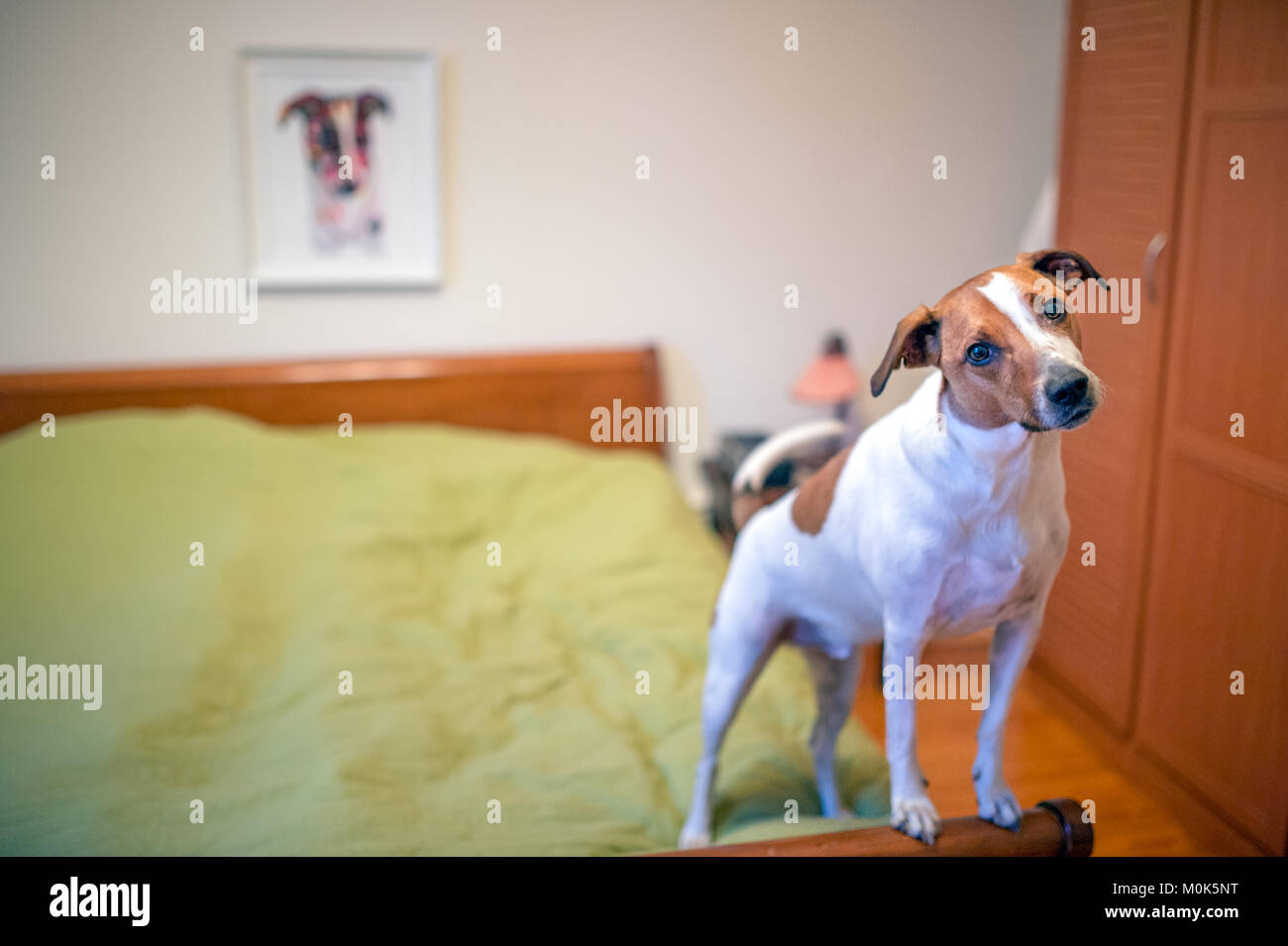 Six-year-old Danish Swedish Farmdog posing in a bedroom in front of his portrait. - Stock Image