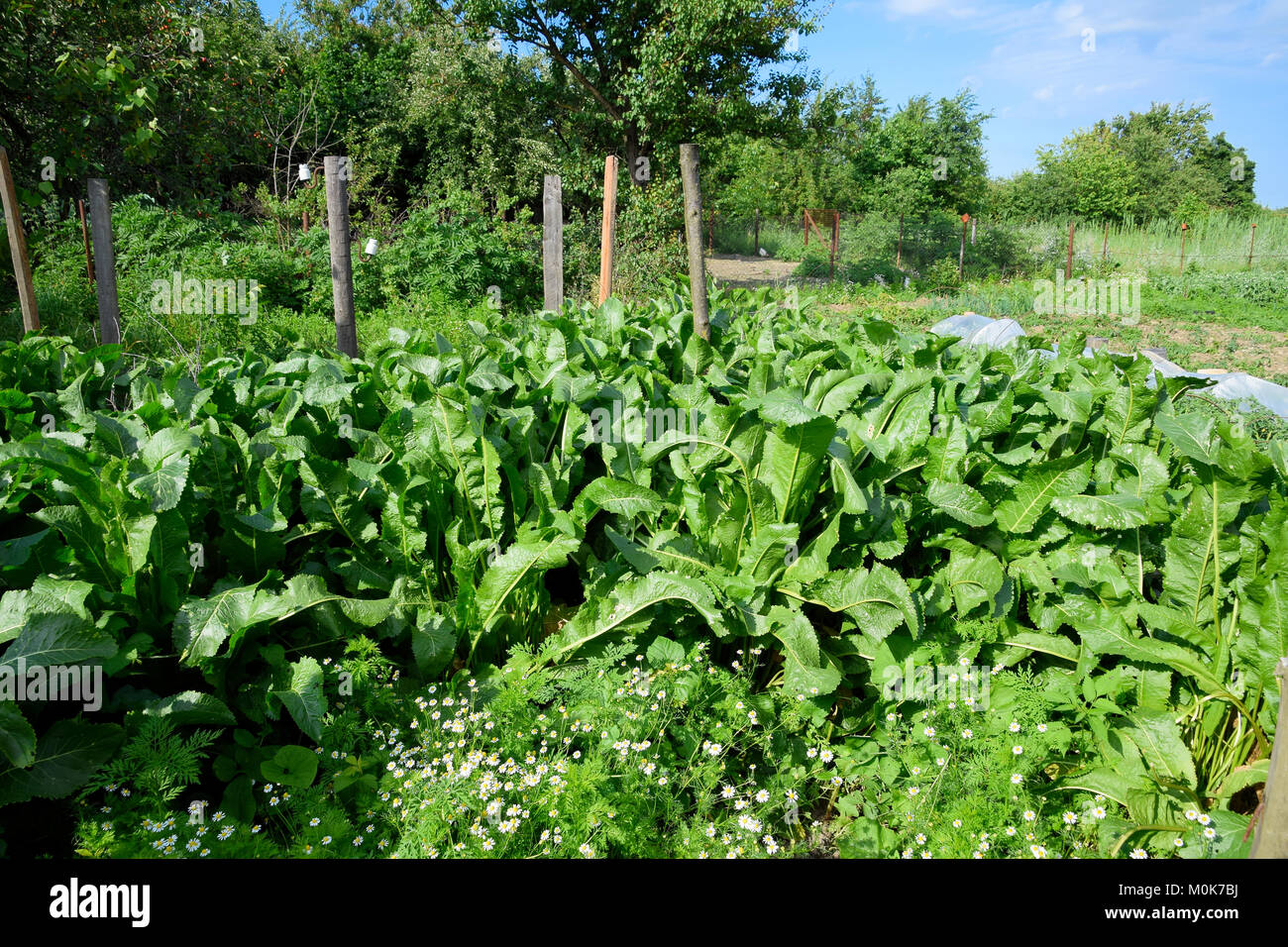 Plant horseradish. Spicy plant in the garden. Horse-radish is common in the garden. - Stock Image