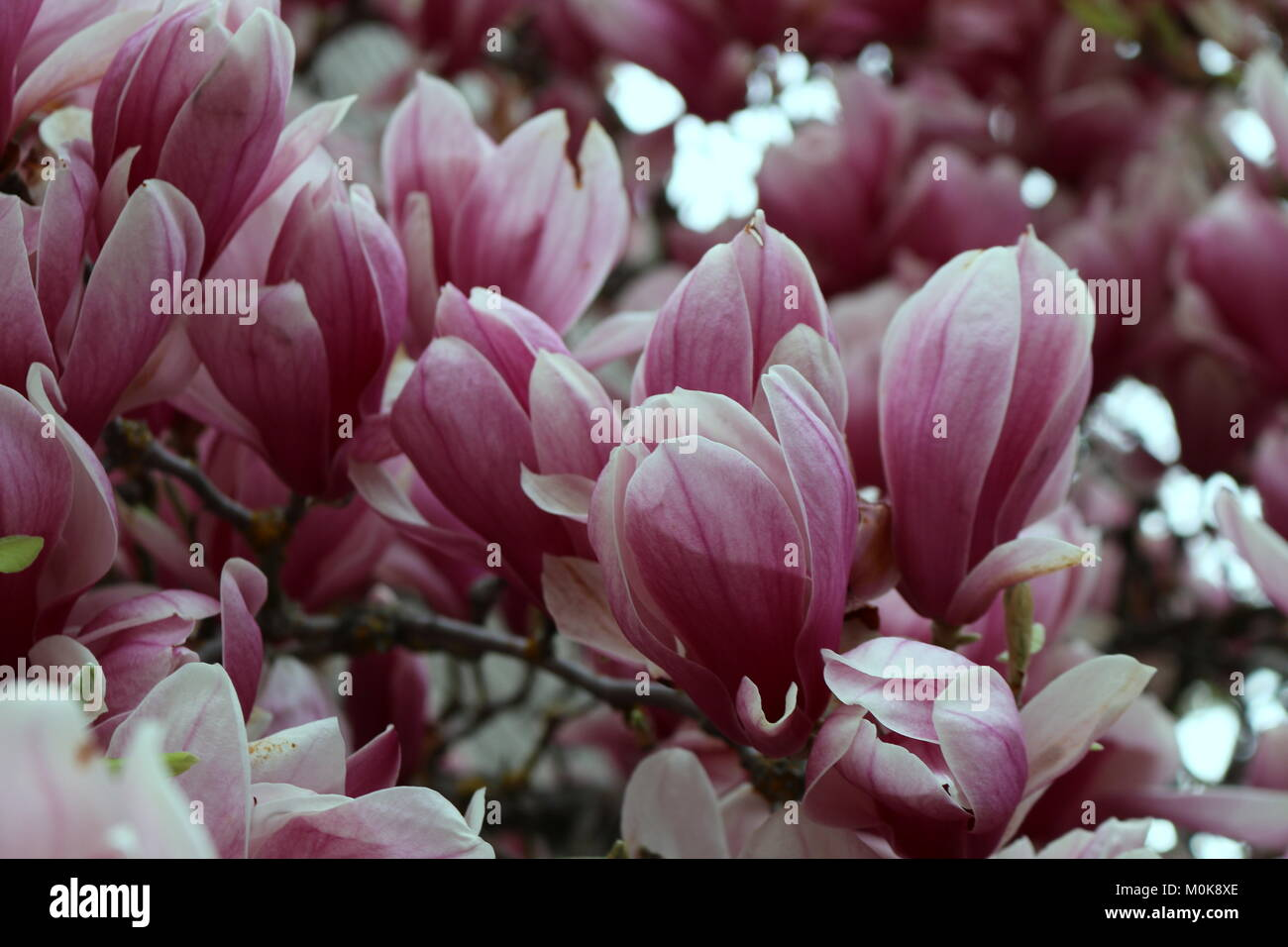 Pink Tulip Tree Blossoms Stock Photo 172527782 Alamy
