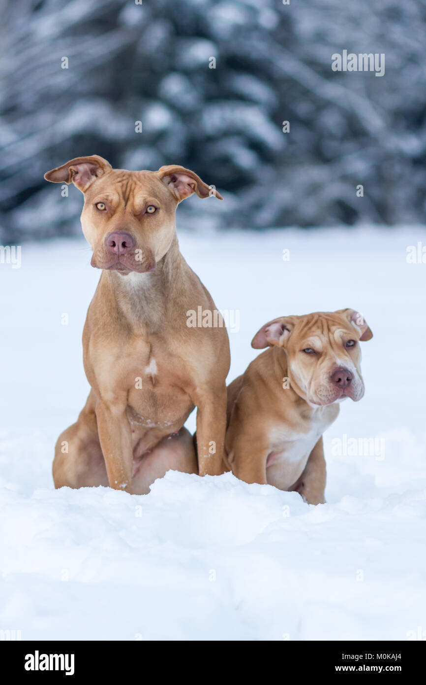Working Pit Bulldogs in the snow - Stock Image