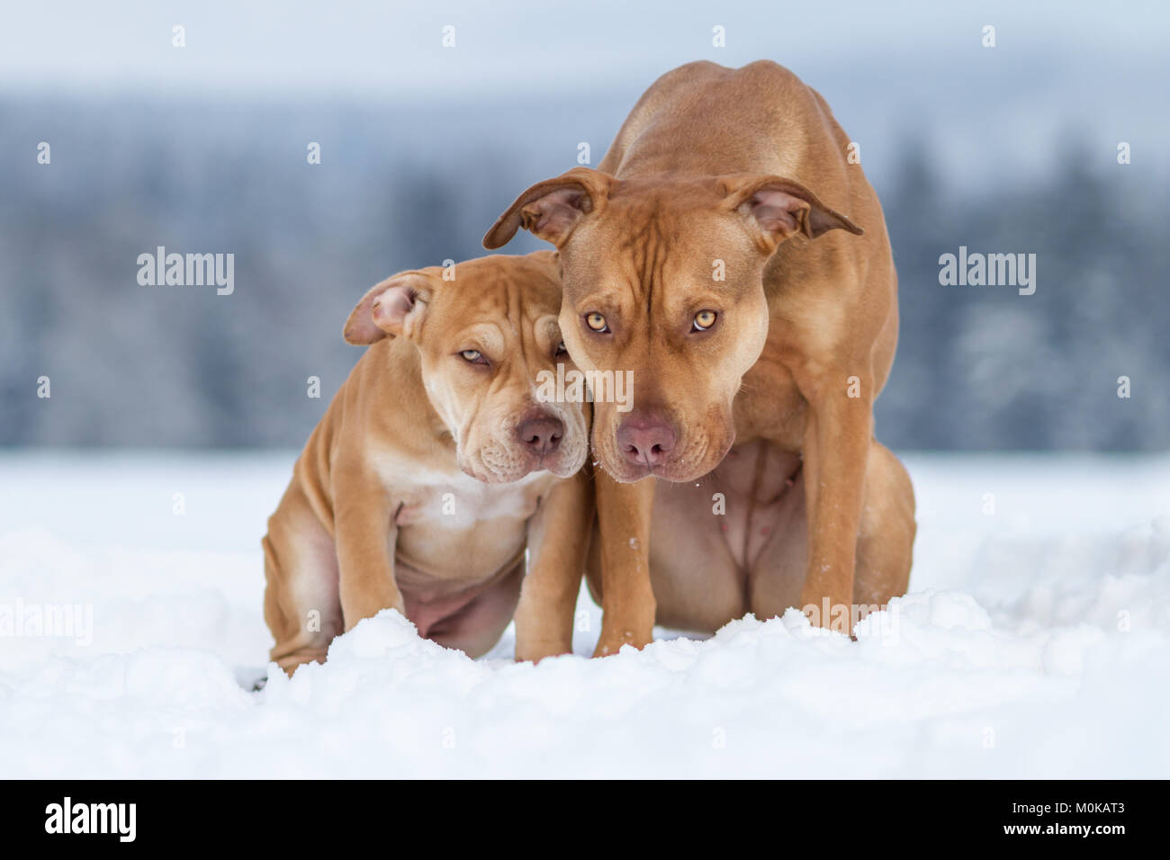 Adult dog and puppy sitting together in the snow, group of dogs, winter - Stock Image
