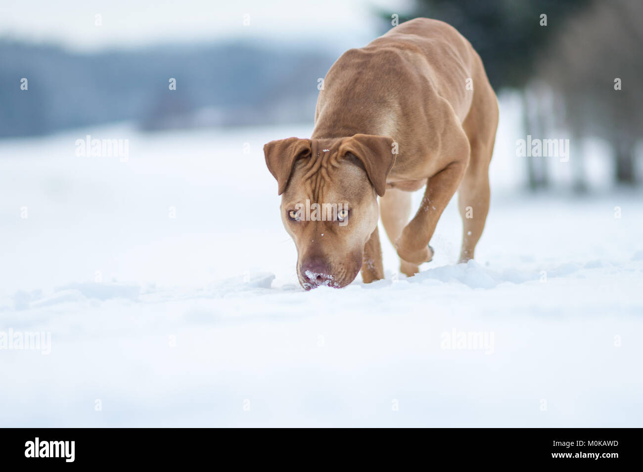 Working Pit Bulldog walking and sniffing in the snow - Stock Image