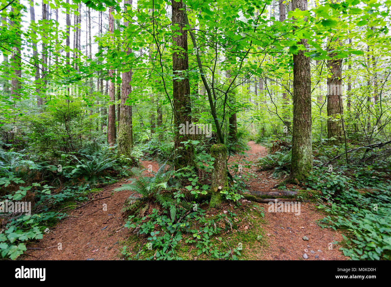 Green Timbers Forest with two trails leading in different directions; Surrey, British Columbia, Canada - Stock Image